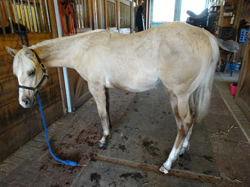 Horse Classified Ad Summers Gold Corona