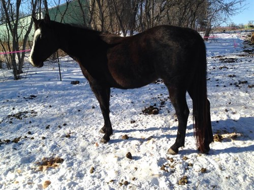 Horse Classified Ad BA SOCIAL BUTTERFLY