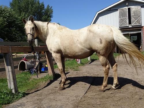 Horse Classified Ad Dallas