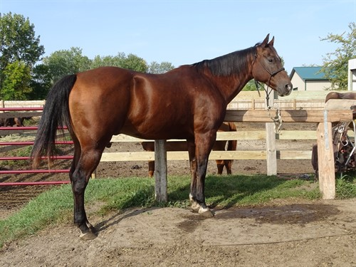 Horse Classified Ad Cyrus