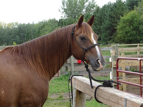 Horse Classified Ad Duke