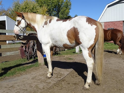 Horse Classified Ad Milo