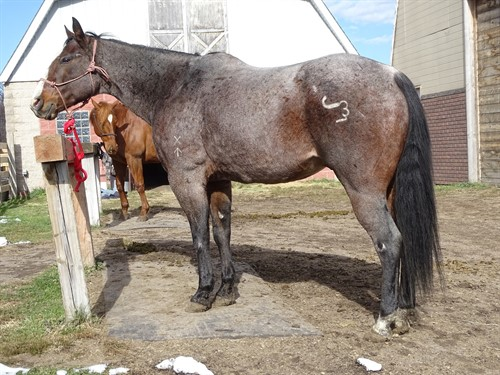 Horse Classified Ad Denver