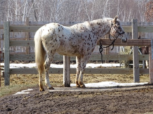 Lily, POA Registered 5yr old Mare, 14h, Great size for Kids and Small Adults