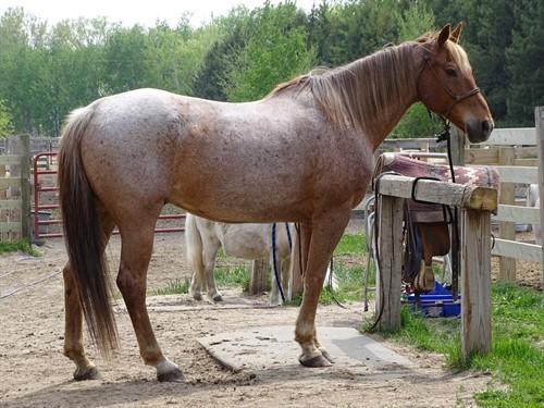 Rusty, Big Red Roan Gelding, 16h, Trails, Roping, Barrels