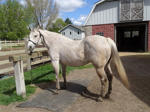 Lacy, Beautiful Gray Mare, Stout, 14.1h, Walk Trot type Trail horse