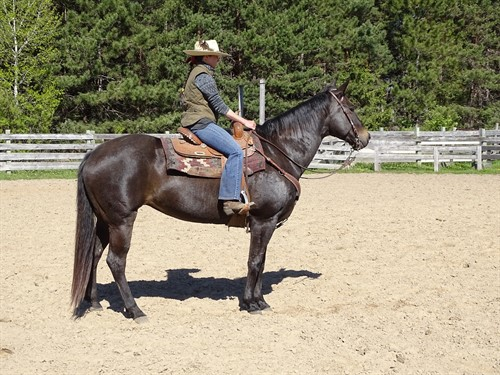 Jade, Beautiful Dark Bay Roan Mare, Well Broke, Show her, Trail Ride or Work Cows with her