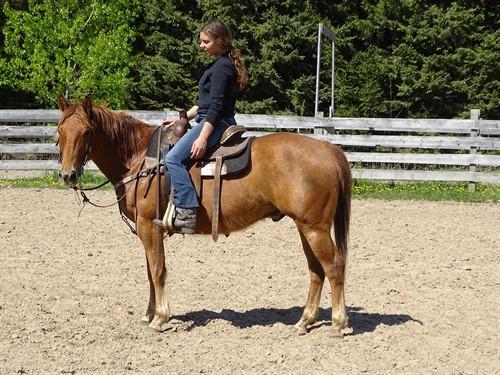 Teddy, Good Looking Sorrel Gelding, 15h, great trail horse