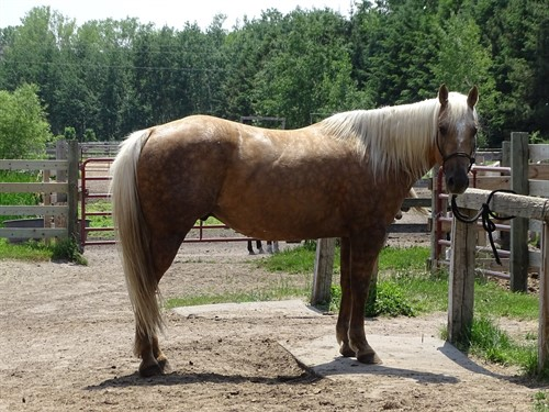 Leo, AQHA Gorgeous Chocolate Palomino, 7yrs old 15h, Great Barrel of Rope Prospect **Consigned to Billings Livestock Horse Sale Lot #137**