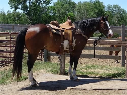 Koda, Beautiful Draft Cross Gelding, 15 h, Great Trail Horse, **Consigned to Billings Livestock Horse Sale June 26th Lot # 249**