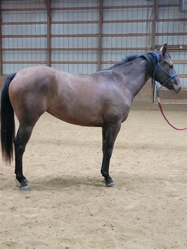 Horse Classified Ad Iris Lady Bug