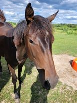 Horse Classified Ad Iris Fire Fly