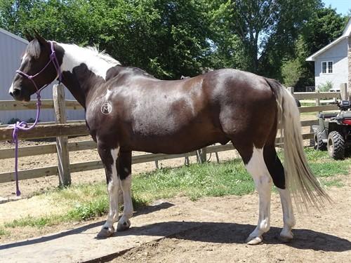 Horse Classified Ad Maverick
