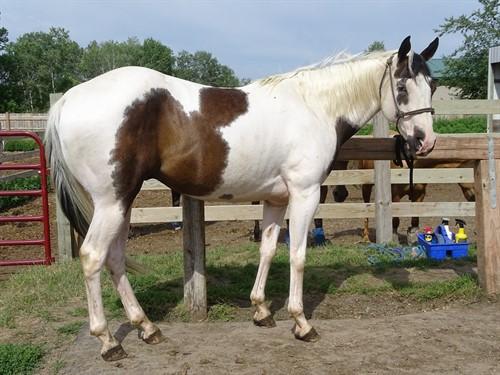 Horse Classified Ad Domino