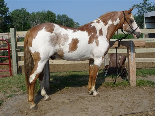 Horse Classified Ad Chex