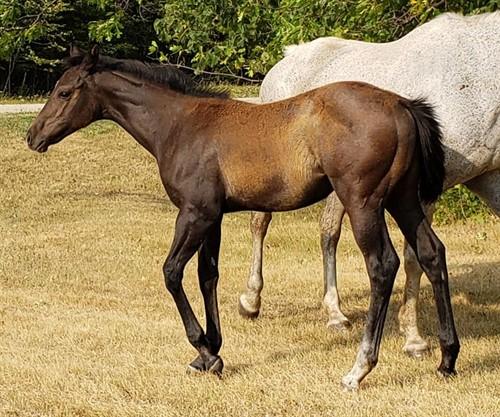 Horse Classified Ad So Frenchabul