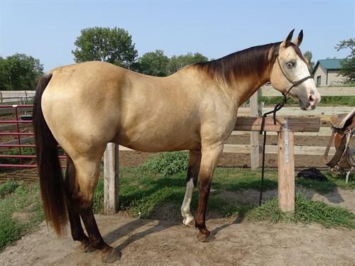 Dallas, Good Looking Buckskin Gelding, Great trail horse