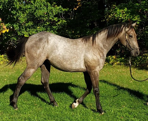 Horse Classified Ad Fabs French Angel