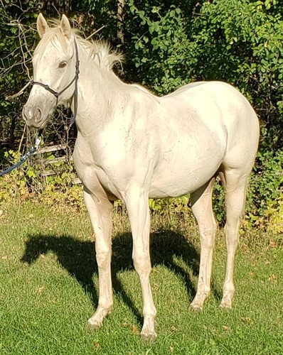 Horse Classified Ad Kandy With A K